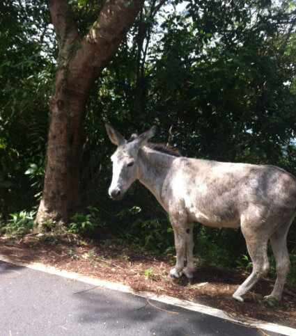 St John island donkey on the side of road